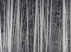 Aspens, by Don Abelson